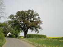 dicke Eiche bei Kalenborn